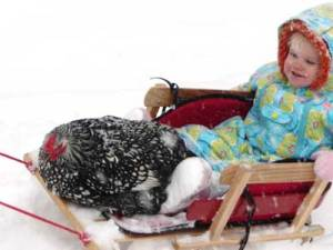 chickensledding1