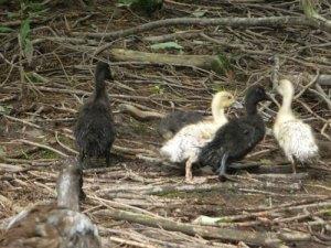 Ducklingsoutside